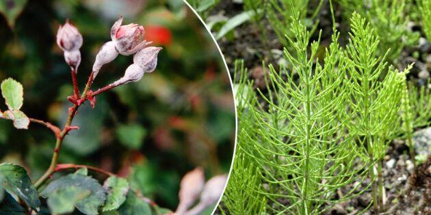 Rädda rosorna: Hejda mjöldaggen med ogräs