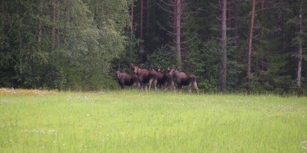 Fortsatt stora betesskador i norra Sverige
