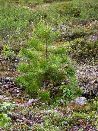 Mest contorta planterades under 1980-talet.