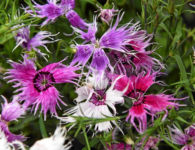 Praktnejlika 'Spokey' är charmig med fransade kronblad och en mix av blommor i röda, rosa, lila och vita nyanser, de flesta två- eller trefärgade. Härdig perenn som blommar fint redan första året. Sås inomhus i feb-mars eller utomhus i mars-september. Impecta.