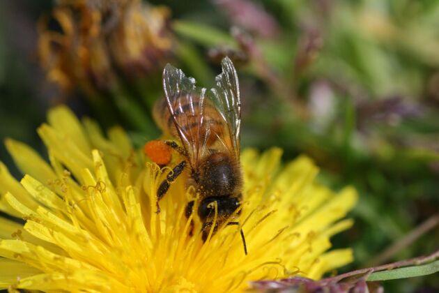 Neonikotinoider skadar viktiga pollinerare, som bin.