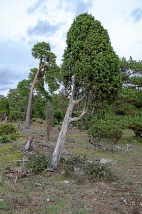 Vindpinade tallar och enar har bevarats för eftervärlden i naturreservatet Verkgards. På 30 hektar sker inga avverkningar.