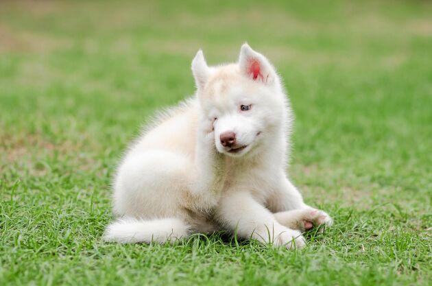 Kliar det i hundens öron? Det kan vara gräsallergi.