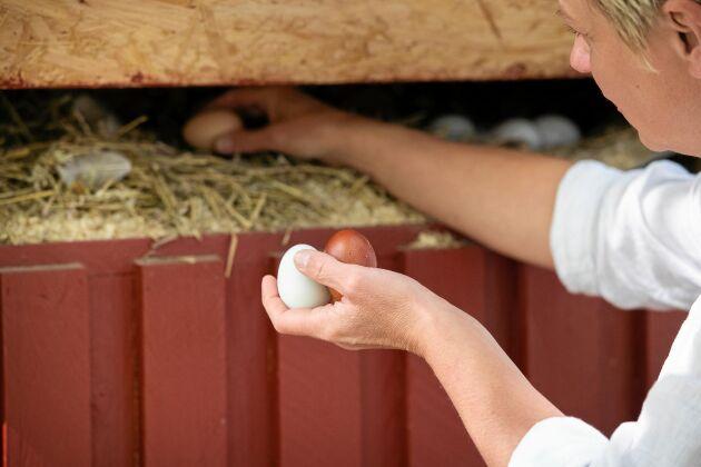 Eva vittjar hönsens rede efter färska ägg att servera på kaféet.
