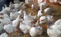 Fjäderfän räddade från brand