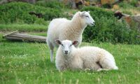 Översvämmad älv drog med sig 100 får