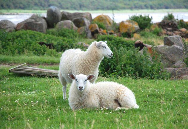 Fåren drunknade i älven Surna i Norge. Arkivbild, fåren på bilden har inte med händelsen i artikeln att göra.