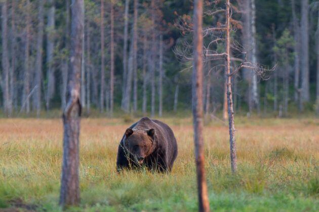 Björnjakten startade i går.