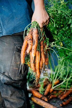 Grönsaksskörden blev över förväntan och säljs bland annat via Rekoringar.