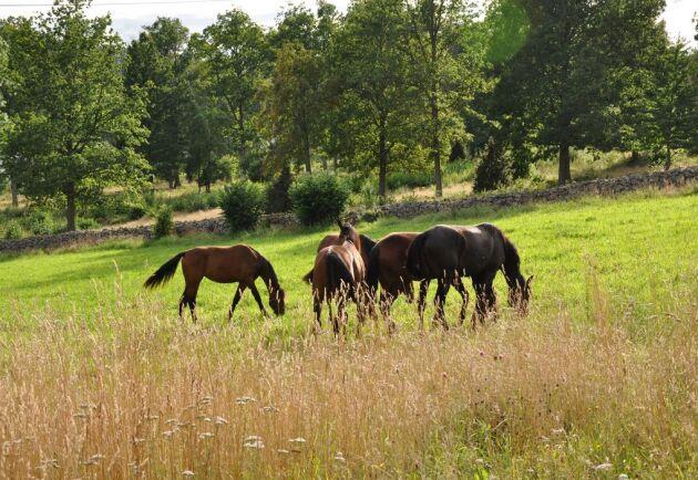 Markerna på stuteriet utanför småländska Ramkvilla lämpar sig väl för uppfödning av hästar.
