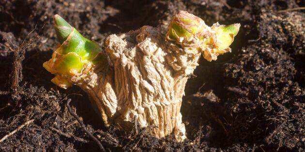 Odla ingefära hemma – ja det funkar! Så gör du