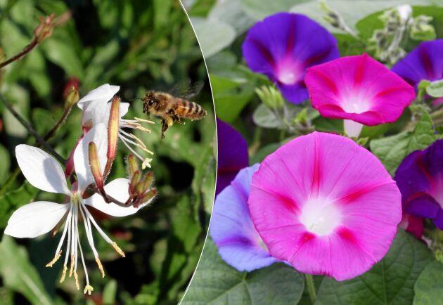 Blommor för bin, fjärilar och humlor.