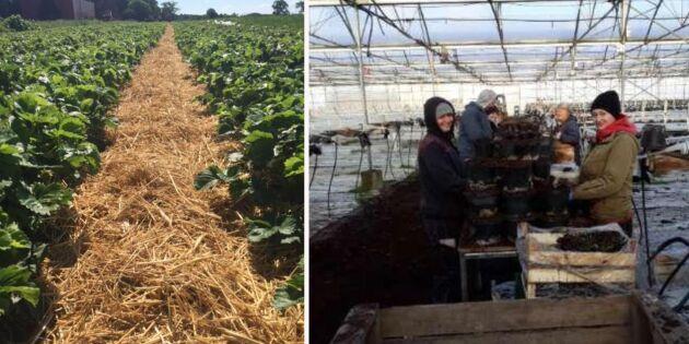 Brist och krångel oroar odlare