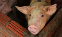 Djurkontroller införs efter svinpestutbrott