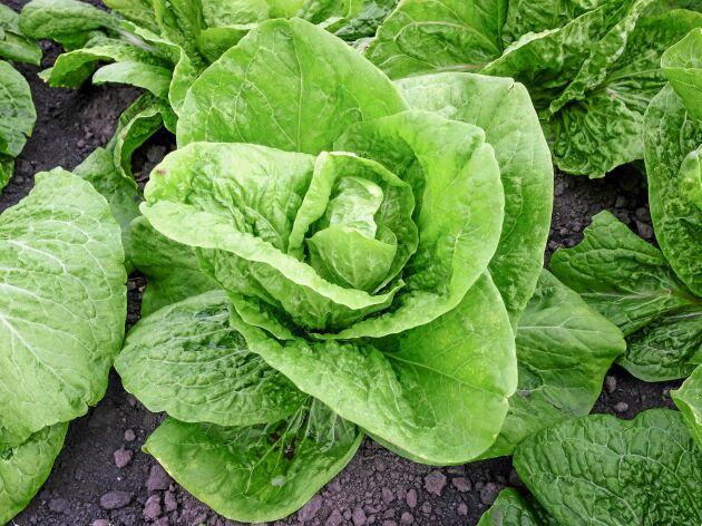 'Valmaine' är en krispig romansallat som också kan odlas inomhus på vintern.