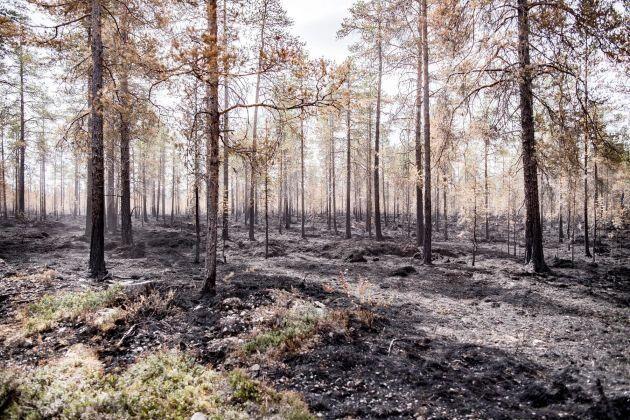 Arkivbild. Brandskadad skog efter en av sommarens skogsbränder.