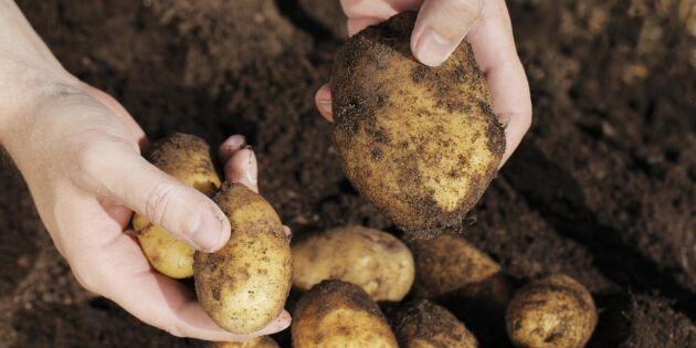 Sämre kvalitet på årets potatisskörd