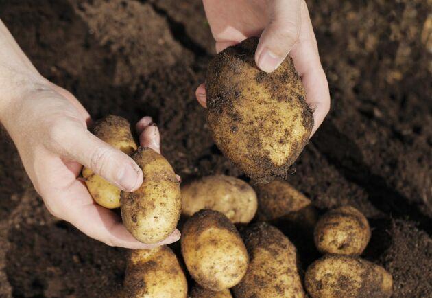 På sina håll har det varit rekordskördar med upp mot 70 ton potatis per hektar men på andra ställen har det varit för blött för att skörda. Arkivbild.