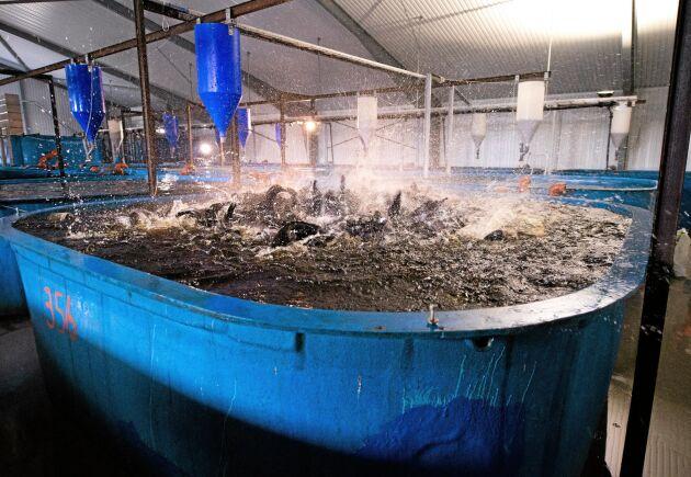 Hungriga afrikanska ålmalar, som Gårdsfisk har döpt om till clarias, kastar sig över fiskfodret som består av fiskmjöl, kycklingavfall och vegetabilier, där större delen är sojamjöl.