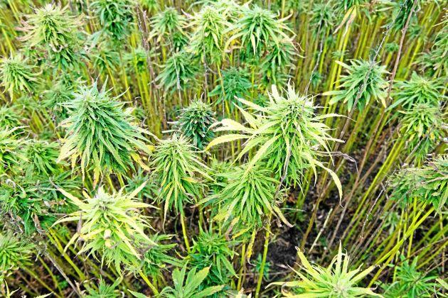Hampa av den lågväxande sorten Finola odlas på Plan i Tengene, Grästorp.