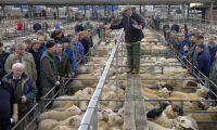 Uteblivet handelsavtal hot mot brittiska fårbönder