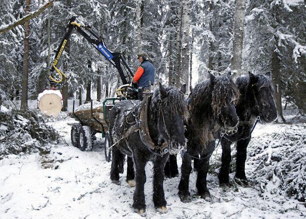De nordsvenska brukshästarna Häck, Ejmer och Hägg väntar tålmodigt på att Anders Finnstedt ska lasta klart.
