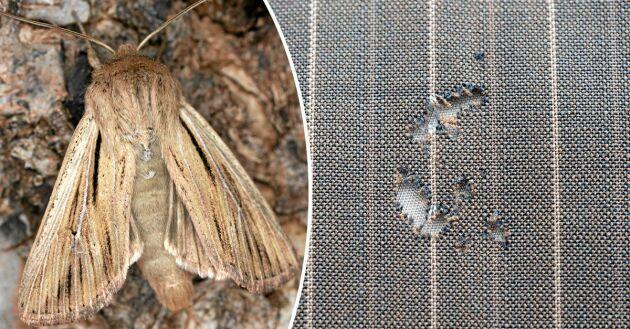 Mal är skadedjur som kan äta hål på textilier i naturmaterial.