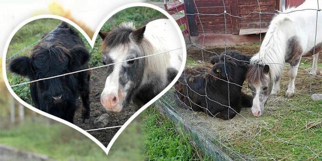 Kalven Sigge adopterades av ponnyn Nore –tror att han är en häst