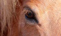 Annorlunda tarmflora hos hästar med EMS