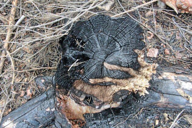 Branden har drabbat träden olika hårt.