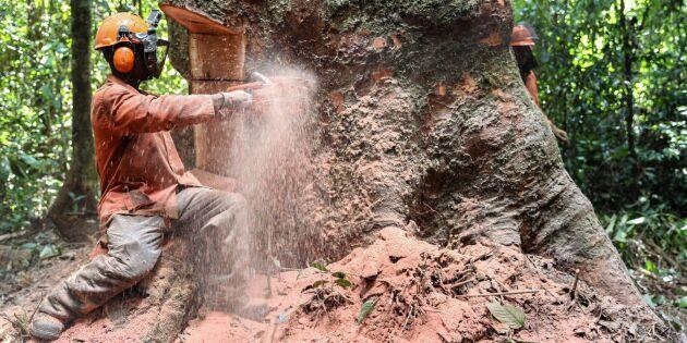 Varsam huggning en räddning för regnskogen