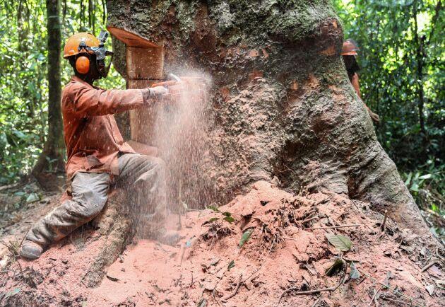Att kapa ett jätteträd i regnskogen tar tid och kräver långt svärd på motorsågen.
