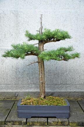 Jin och shari heter det när man genom död ved får det att se ut som om trädet träffats av ett blixtnedslag. Här har Maria Arborelius format stilen på en bonsai av ett lärkträd.