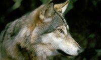 Utskott vill se över ökad licensjakt på varg