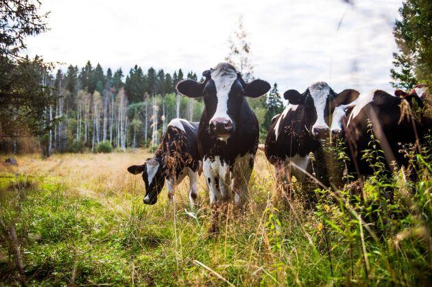 I ett litet samhälle i Alvesta kommun har ett 10-tal nötdjur ännu en gång rymt från sina hagar och springer omkring helt utan tillsyn på bilvägar och i folks trädgårdar.