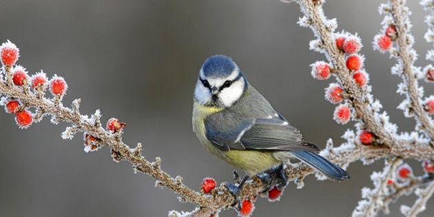 Bilder: 10 vanliga småfåglar i din trädgård