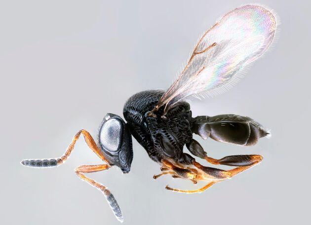 Samurajgetingen, trissolcus japonicus.