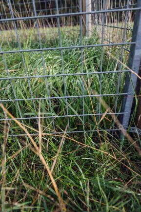 I buren är gräset långt och saftigt, utanför ser det ut som om någon kört över åkern med en gräsklippare.
