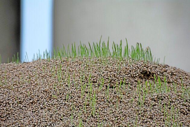 Högst upp på spannmålshögarna har det börjat att gro.