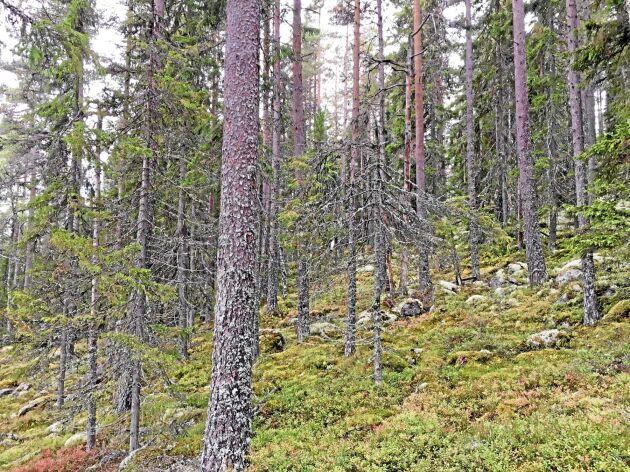 Äldre barrblandskog i en nyckelbiotop i nordvästra Dalarna.