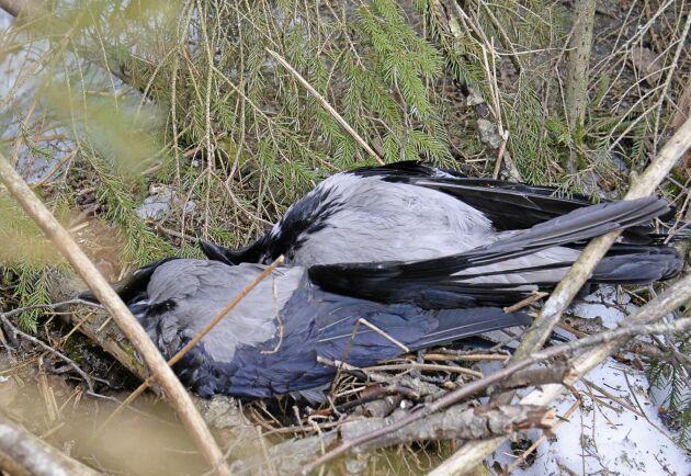 Viltvård. Kråkjakten bidrar till att minska predationen av småviltets ungar och ägg.