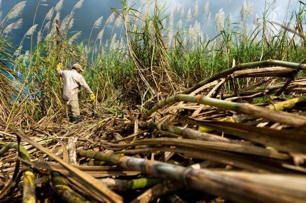 Priset på socker, bland annat framställt av sockerrör, sjunker globalt.