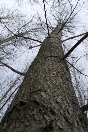 Inga träd växer till himlen, brukar det ju heta, men hybridpopplarna gör ett tappert försök. På bara 24 år har de en medelhöjd på runt 30 meter.