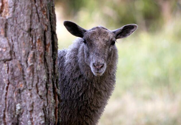 Tre sopsäckar med fårhuvuden låg dumpade längs med en grusväg och i ett skogsparti vid ett stenbrott låg ett tiotal ruttnande fårkroppar som ser ut att ha dumpats i helt skick. Arkivbild.