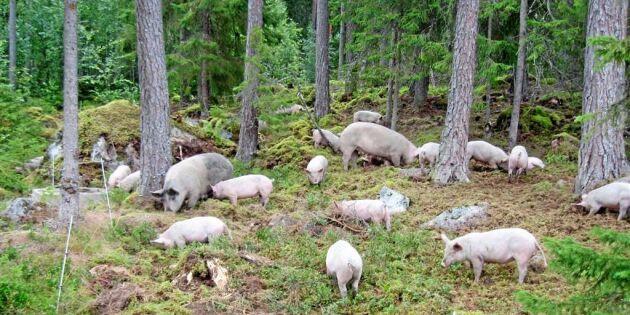 Här används bökande grisar som markberedare
