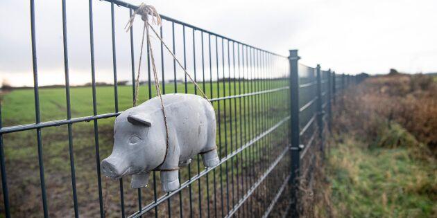 Första fallet av afrikansk svinpest i Tyskland