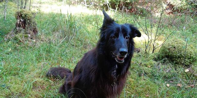 Svamphunden Sigge nosar upp skogens guld