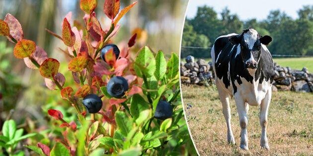 Smakfel på mjölk efter torkan – bismak av blåbär
