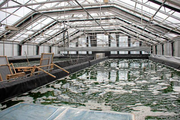Spirulina odlas i växthus i stora bassänger med slutet system. Det enda som tillsätts är växtnäring. Algerna skördas varannan till var tredje dag.
