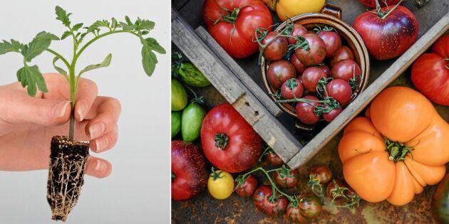 GUIDE: Odla tomat – så lyckas du
